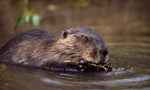 European beaver.