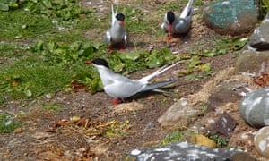 Checks on the tagged terns to have returned to the Farne Islands this year has found that the tags had no measurable effect on the terns. Geolocator-tagged terns fledged the same number of chicks and returned to the Farne Islands at the same rate as other terns.