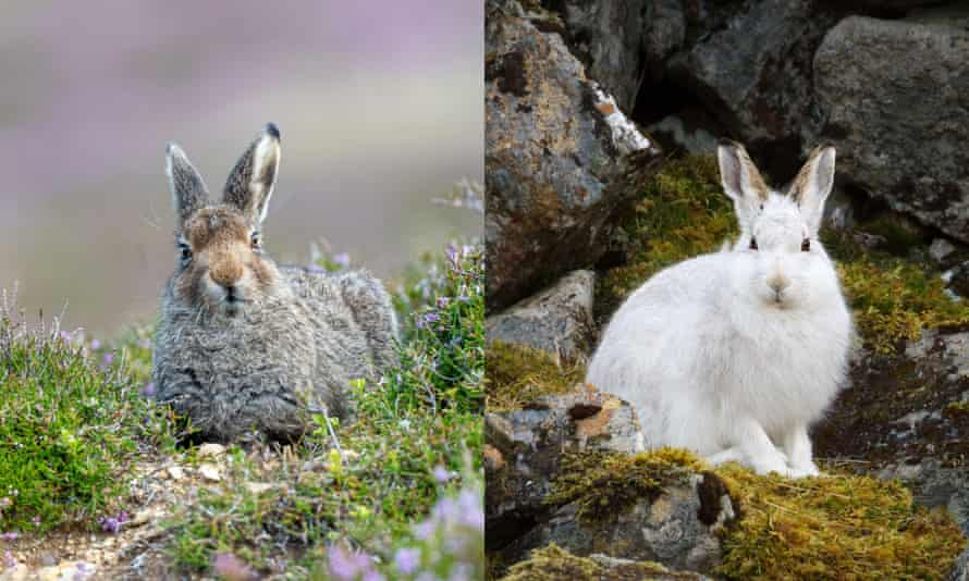 A hare in its mottled summer coat (left), and in its white winter coat (right)