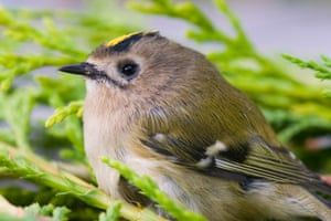 A female goldcrest.