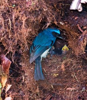 Sabah, Malaysia: an indigo flycatcher (Eumyias indigo) at nest in Kinabalu park