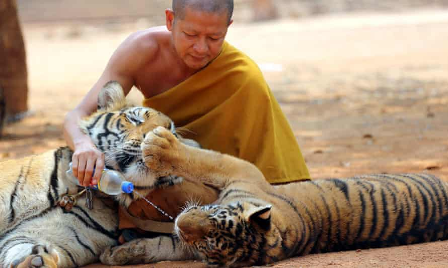 A Thai Buddhist monk feeds water to a tiger at the tiger temple, in Kanchanaburi province, west of Bangkok.