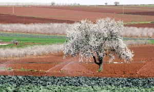 Almond tree in the West Bank, Palestine