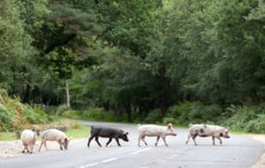Domestic pigs cross the road near to Burley in Hampshire