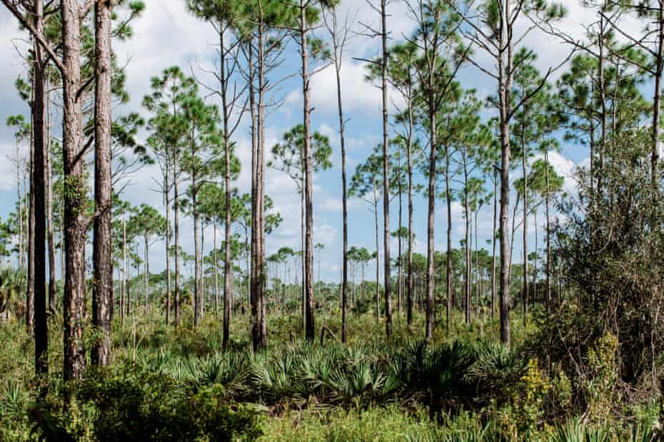 Saw palmetto grows wild in dry prairies and flatwoods throughout Florida and much of the American south.