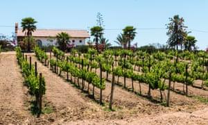 Vineyard at Adobe Guadalupe Winery in Ensenada, Mexico.