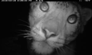 Camera trap image of a snow leopard on Munkhkhairkhan Mountain, Altay-Sayan ecoregion in Mongolia