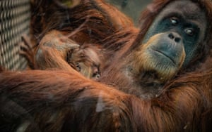 Chester, England. A newborn orangutan, a member of a critically endangered Sumatran species, is cradled by its mother at the city's zoo