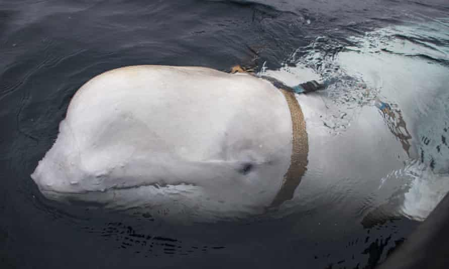 The beluga whale with a Russian military strap swimming off the north Norwegian coast.
