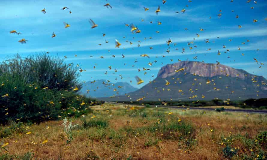 Locusts swarm in Samburu county, north of the Kenyan capital, Nairobi