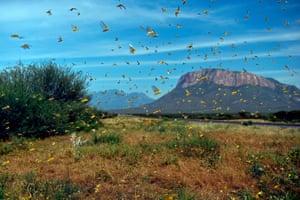 Locusts swarm from ground vegetation at Lerata village, near Archers Post in Samburu county