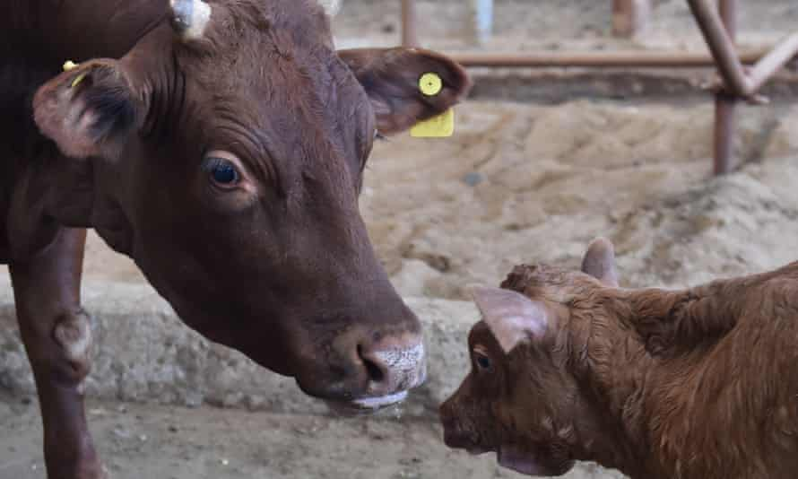 Niu Niu, a genetically modified cow, is seen with its calf at the experimentation base of Beijing University of Agriculture