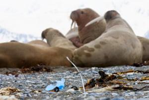 Walruses with marine litter on Spitsbergen in the Svalbard archipelago