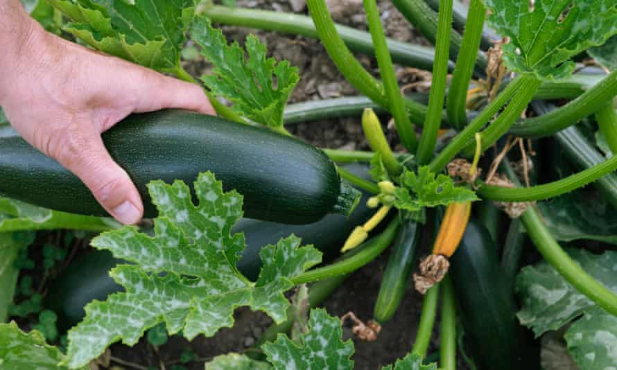 A hand picking courgettes