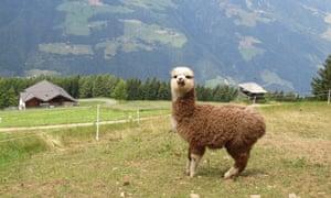 Alpaca on grassy verge at Taser Alm, South Tirol, Italy.