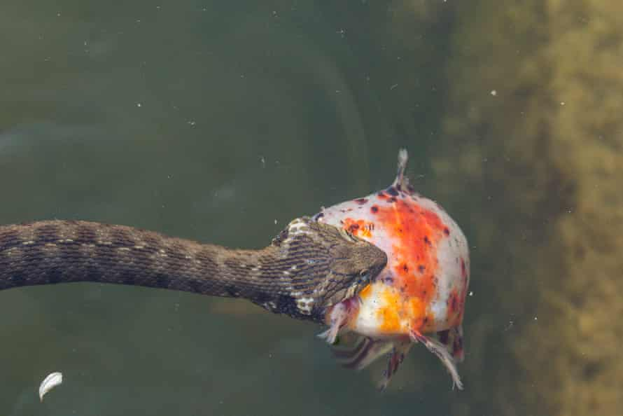 Viperine water snake catches its prey