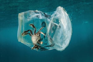 Crab stuck inside a plastic cup