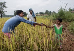 Watched by Righuram Porte (centre), father Budhram Mariam (left) elicits help from his 5 year old daughter Kiran with the rice cropping in the village of Fathepur in the Hasdeo Arand forest.