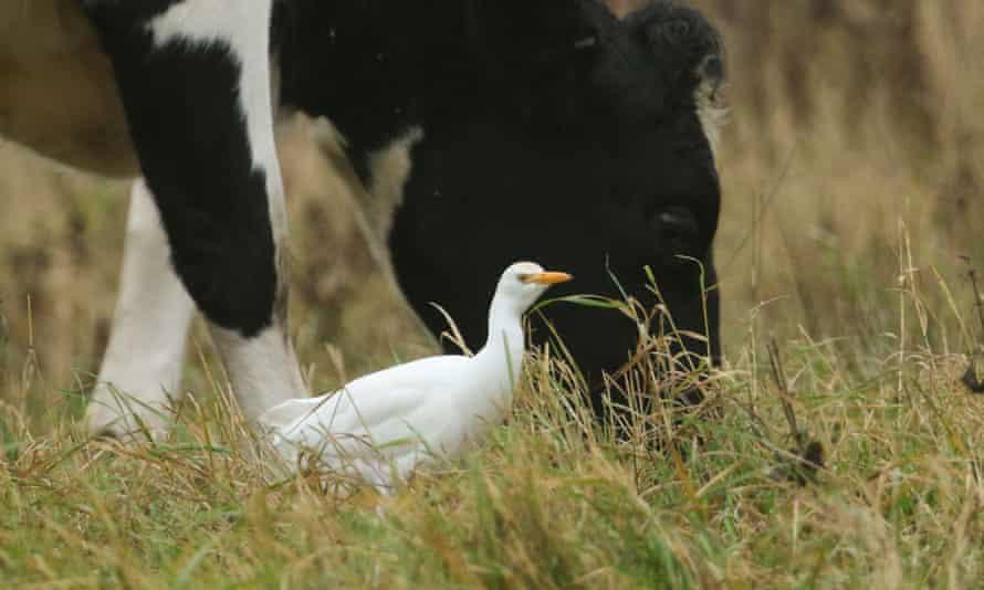 A cattle egret.