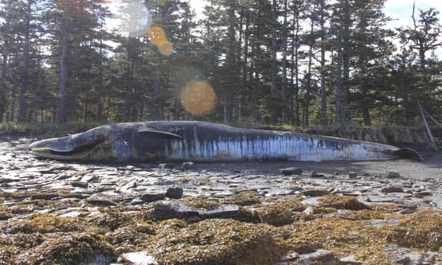 Fin whale carcass, Alaska