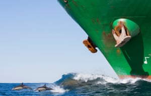 Long-beaked common dolphins breach in front of cargo ship off the Wild Coast region of South Africa