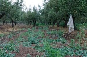Moringa planted below olive trees in El Fahs, Tunisia