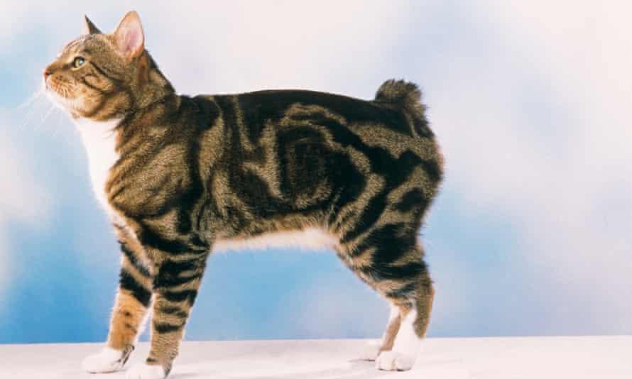 What a Manx cat lacks ...