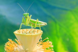 A mantis rests on a lotus seedpod in Xuyi County of Huai'an, east China