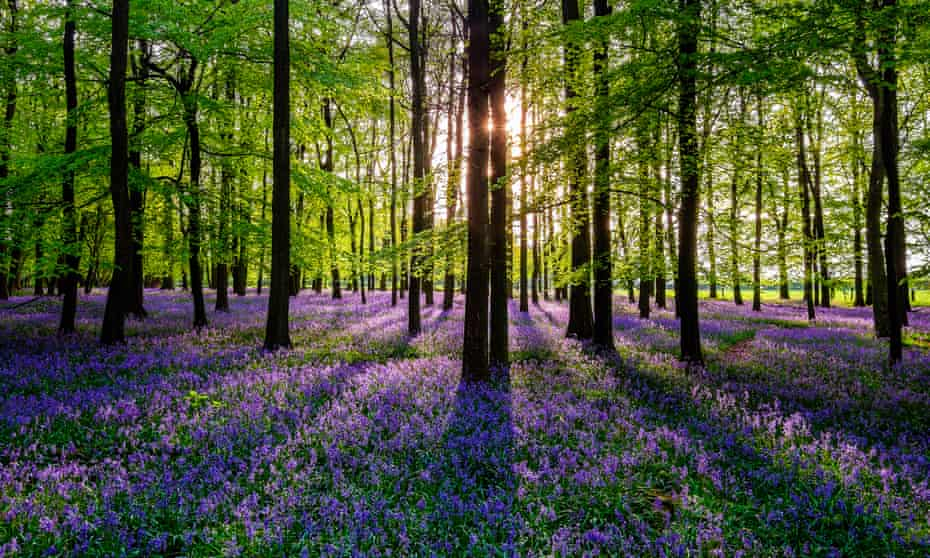 Bluebells in a British meadow at sunset