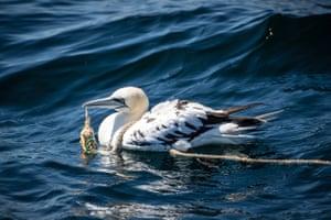 Gannet rescue, Treshnish Isles, Scotland.