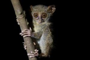 A tarsier in Tangkoko national park, Borneo.