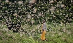 A farmer looks back as she walks through swarms of desert locusts