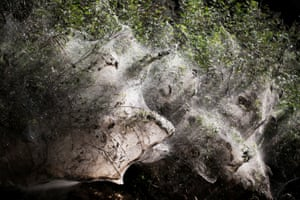 Giant spider webs, spun by long-jawed spiders, along the banks of Soreq creek near Jerusalem