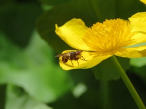 A thick-headed fly (Myopa pellucida) sitting on a flower of marsh marigold (Caltha palustris), near a pond in Bristol. The fly is a parasitoid of mining bees. It waits on flowers and when a suitable host comes along it attack its and lays an egg inside it. When the larva hatches it eats the host bee from the inside.