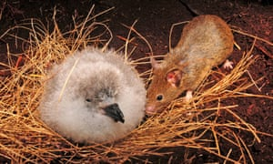 A mouse approaches an albatross chick on Gough Island in the South Atlantic.