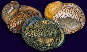 Chrysomallon squamiferum – the scaly-foot snail.