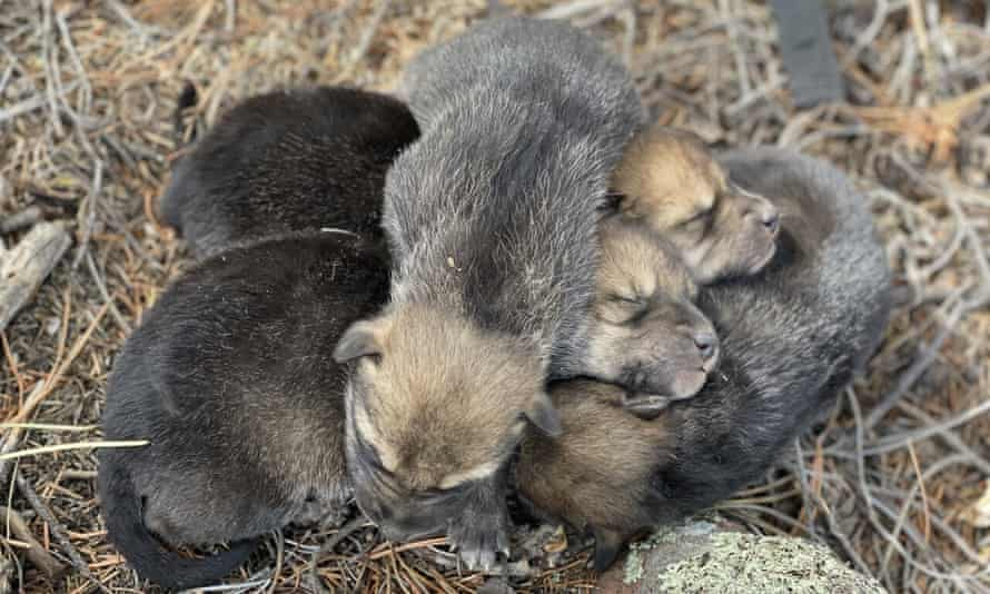 Federal wildlife managers placed a record 22 captive-born wolf pups into dens in south-western New Mexico.