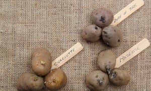 Varieties of seed potato (first early 'Red Duke of York'; second early, 'Charlotte' and main crop, 'Majestic') displayed on hessian