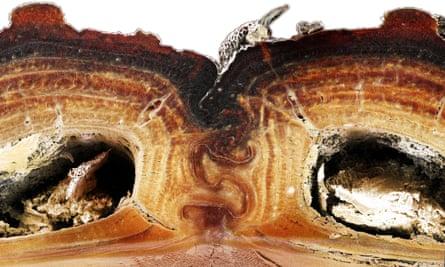 The beetle has interlocking elytra