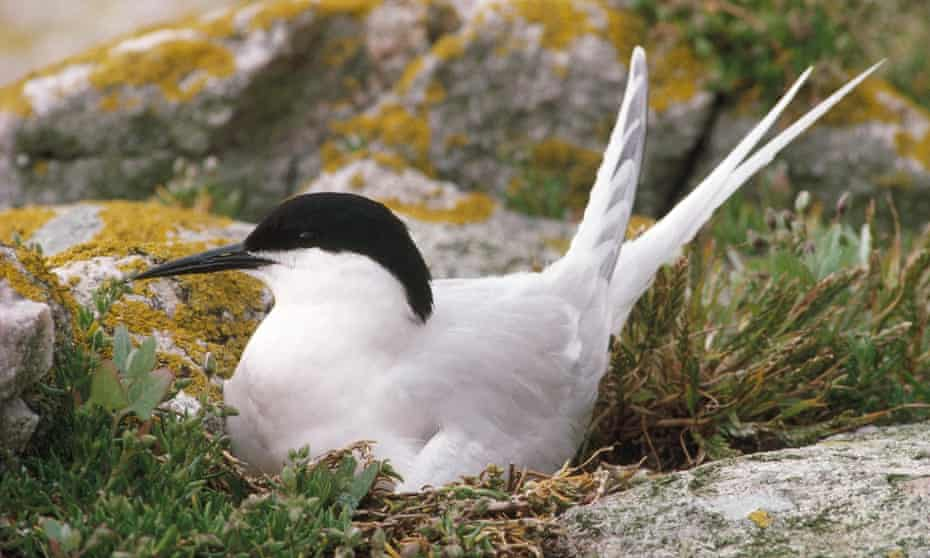 A roseate tern at Coquet Island, home to the bird's only UK breeding colony