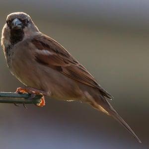 House SparrowSparrow on our garden bird feeder