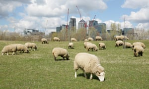 Sheep graze on open land as Canary Wharf rises in the background