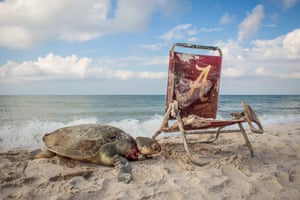A dead Kemp's Ridley turtle attached to a beach chair near the sea shore by a rope around its neck