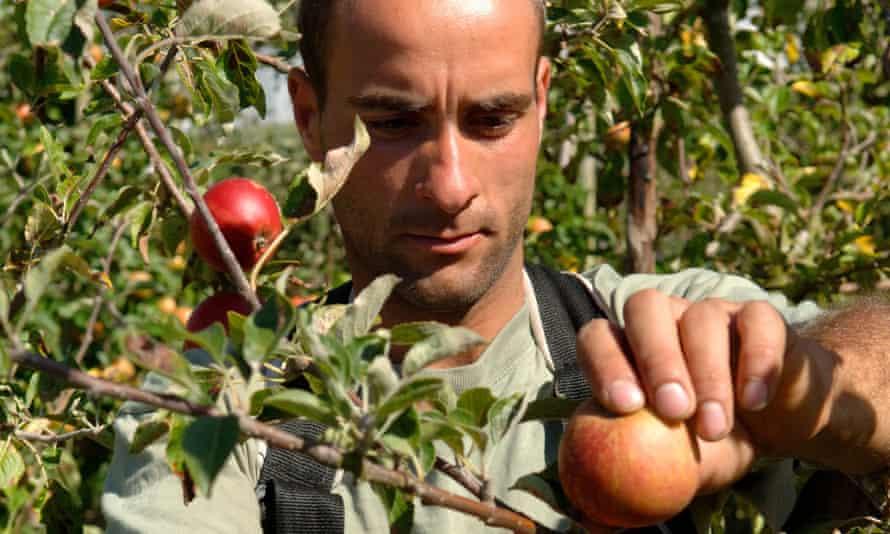 An east European worker harvesting apples in Kent