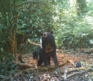 Asian black bear: The surveys found at least 31 mammals, with over half categorised as near threatened, vulnerable or endangered on the IUCN red list
