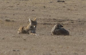 A coyote and Badger hunting together on the prairie surrounding the National Black-footed Ferret conservation center in Colorado, US