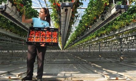 A worker picking strawberries in Chichester, West Sussex.