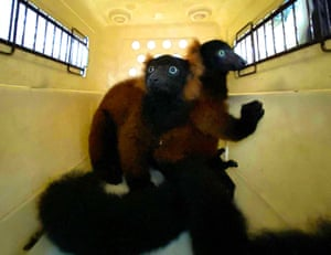 Singapore zoo's twin red-ruffed lemurs are placed in a carrier during their first health checkup in the animal hospital