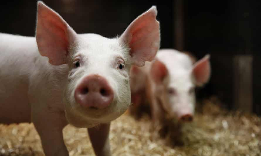 Pigs that have been gene-edited to be resistant to the PRRS virus