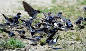 House martins collect mud